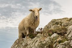 Sheep climbing a mountain in Wales, UK. Sheep climbing a rock near South Stack, Isle of Anglesey, Wales, UK Royalty Free Stock Image