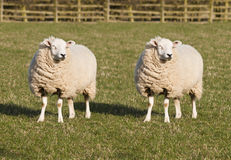 Sheep Cloning. Two identical sheep standing in a field. Sheep Cloning. First mammal to be cloned. Dolly the sheep royalty free stock photos
