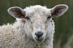 Sheep close up. With shallow depth of field Stock Image