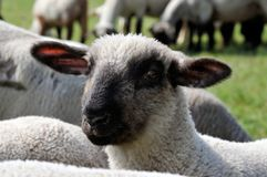 Sheep close up Royalty Free Stock Photography