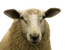 Sheep close-up. Close-up of a brown sheep over white background Royalty Free Stock Photography