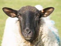 Sheep close up. Sheep staring at the camera. Shallow focus Royalty Free Stock Photo