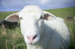 Sheep in close up portrait. Outdoor Royalty Free Stock Photos