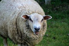 Sheep, closeup. Closeup on a ewe grazing grass from her field in summer royalty free stock photo