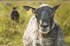 Sheep closeup. Curious sheep looking straigth into the camera Royalty Free Stock Photo