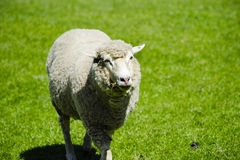 Sheep. Closeup of a ewe in a green field stock images