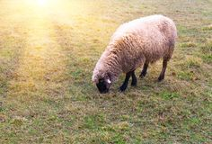 Sheep in the fog early in the morning on a pasture royalty free stock images