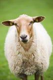 Sheep closeup on green meadow. Sheep close up - cute brown fluffy sheep against nice green meadow Stock Photos