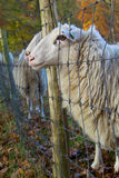 Sheep closeup. A shot of a herd of sheep in a beautiful autumn colored landscape Royalty Free Stock Photos