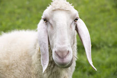 Sheep. Closeup of a sheep in summer Stock Images