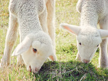 Sheep. Closeup of two sheep grazing Royalty Free Stock Photos