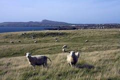 Sheep at the coast Stock Photo