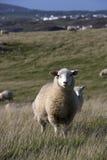 Sheep at the coast Royalty Free Stock Images