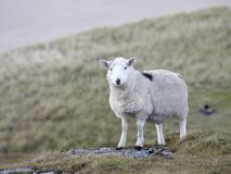 Sheep at the coast detail Stock Photos