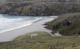 Sheep at the coast Royalty Free Stock Photos