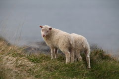 Sheep on coast Royalty Free Stock Photography