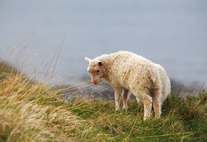 Sheep on coast Royalty Free Stock Photo