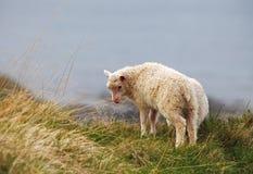 Sheep on coast Royalty Free Stock Photo