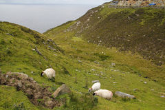 Sheep in the coast of Ireland Stock Images