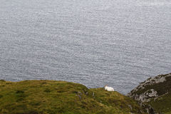 Sheep in the coast of Ireland Royalty Free Stock Images