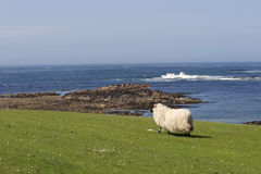 Sheep on the coastline. Stock Photos