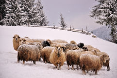 Sheep in a cold white winter landscape Royalty Free Stock Photos