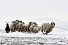 Sheep in cold white winter landscape Stock Photos