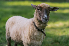 Sheep with collar Royalty Free Stock Photo