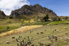 Sheep, colorful crops and rocky peaks near Zumbahua Stock Photos