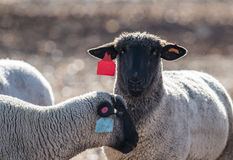 Sheep in a Colorful Pasture Eating Onions Royalty Free Stock Photography