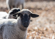 Sheep in a Colorful Pasture Eating Onions Stock Photography