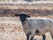Sheep in a Colorful Pasture Eating Onions Royalty Free Stock Photo