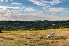 Sheep in colorful Summer landscape in English countryside of Ash. Sheep in vibrant Summer landscape in English countryside of Ashdown Forest Royalty Free Stock Image