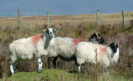 Sheep on the Comeragh Mountains Ireland Royalty Free Stock Images