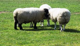 Sheep communication with each other Stock Photo