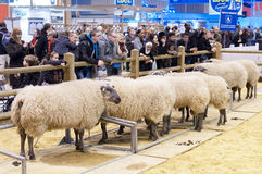 Sheep Competition Royalty Free Stock Photography