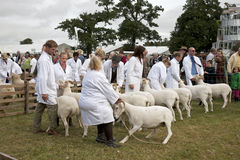 Sheep competition Stock Photos