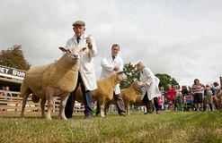 Sheep competiton and handlers. WEEDON, UK - AUGUST 28: Owners & sheep line up in front of the judge to find out which animal has been selected as the winner of Stock Photo