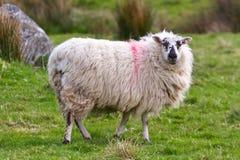 Sheep of Connemara. In Ireland Stock Photo