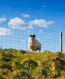 Sheep contact 01 Royalty Free Stock Image