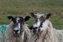 Sheep conversation Stock Photos