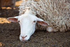 Sheep in the corral for cattle and sleeping after a walk in a pasture. Royalty Free Stock Photo