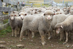 Sheep in a Corral. Flock of sheep in a wooden corral of a farm on Bleaker Island in the Falkland Islands Royalty Free Stock Photos
