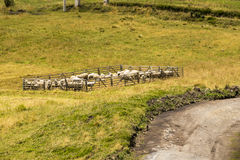 Sheep in a corral Royalty Free Stock Image