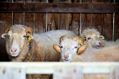Sheep in the corral Stock Photography