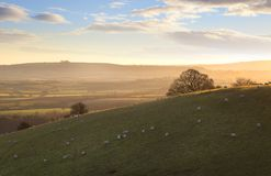 Sheep on Cotswold hills. The sun rising a Cotswold landscape near Ilmington, Warwickshire, England Stock Image