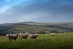 Sheep in the country Stock Images