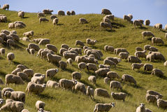 Sheep country. Summer sheep on hilly pasture NZ Stock Images