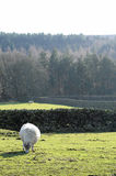 Sheep in a country field with trees. White fluffy sheep in a beautiful British Countryside field eating grass with trees in the background Stock Images