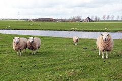 Sheep in the countryside from Netherlands. Sheep in the countryside from the Netherlands Stock Images